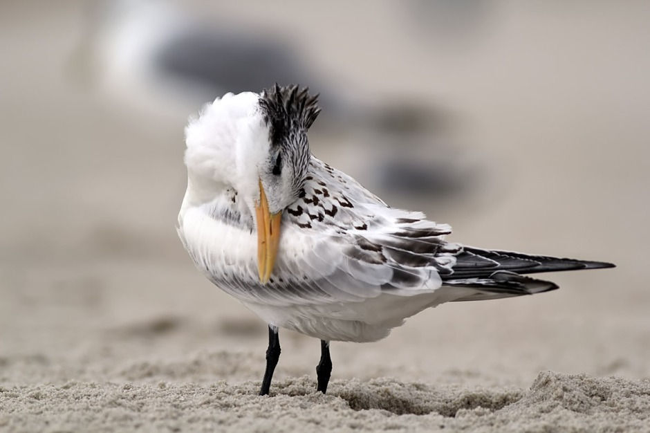 Royal Tern are (arguably) the mostest beautifulest of the Terns