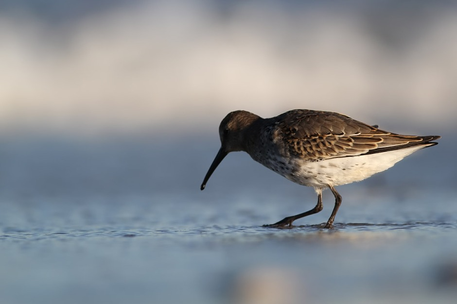 Dunlin are one of the sandpiper-y waders that you'd probably just call a big Sandpiper if you did not look closely.