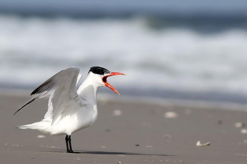 Caspian Tern: As big as a beach chicken.