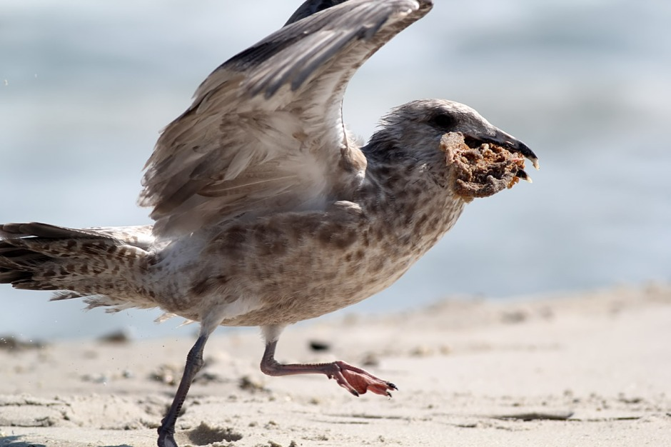 Yes, beach chicken eating chicken seems highly... wrong. But gulls are merciless scavengers and not shy at all about even the mostest taboo: cannibalism. Under the right circumstances (lack of Cheezitz (TM)) a gull will happily consume even beach chicken.