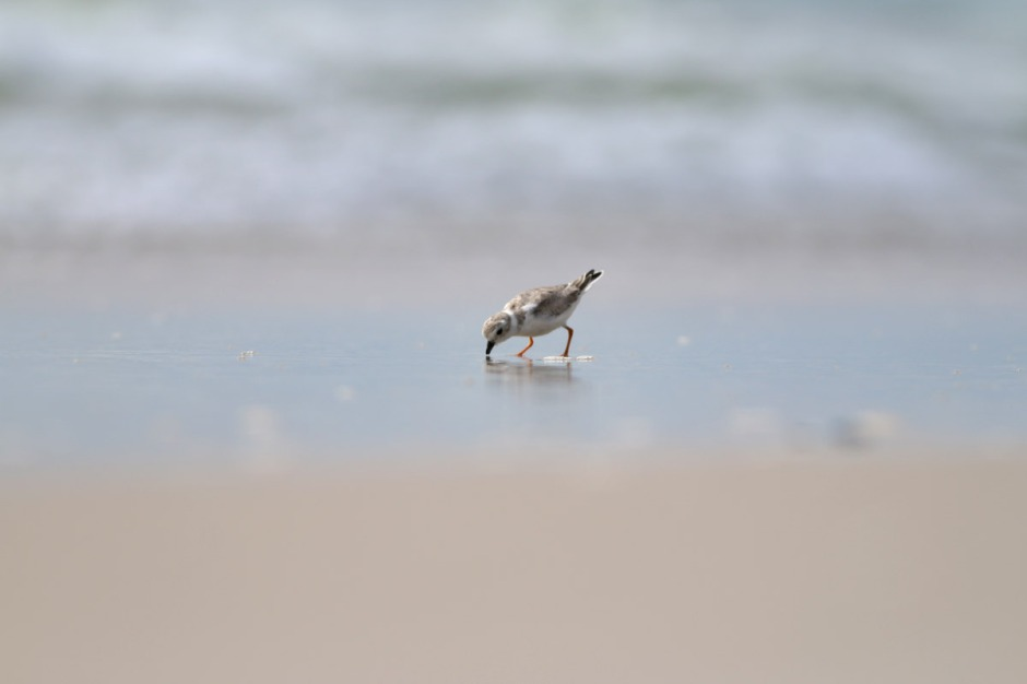 What a treat to find some migrant Piping Plover enjoying LBI's beaches