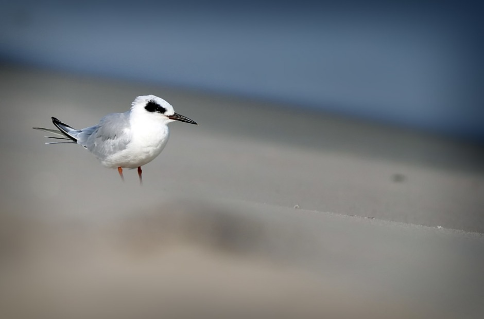 Score! Forsters Tern on the beach...