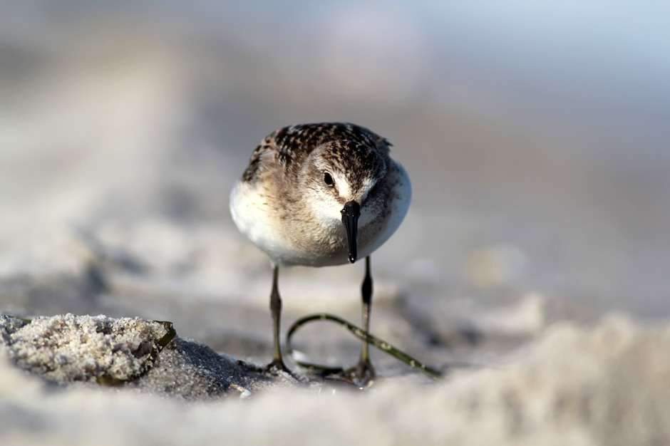 Facing the Stiff South: with Least Sandpiper