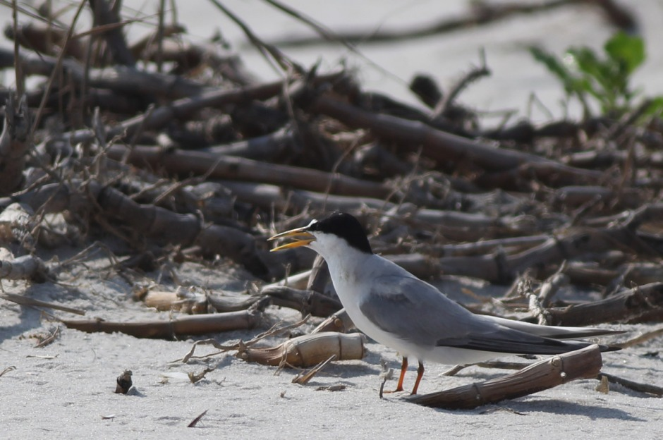 Most of the Tern you'll see on the beaches of LBI are Common Tern. Least Tern are less common (least common!) They're smaller and sport distinctive face masks.