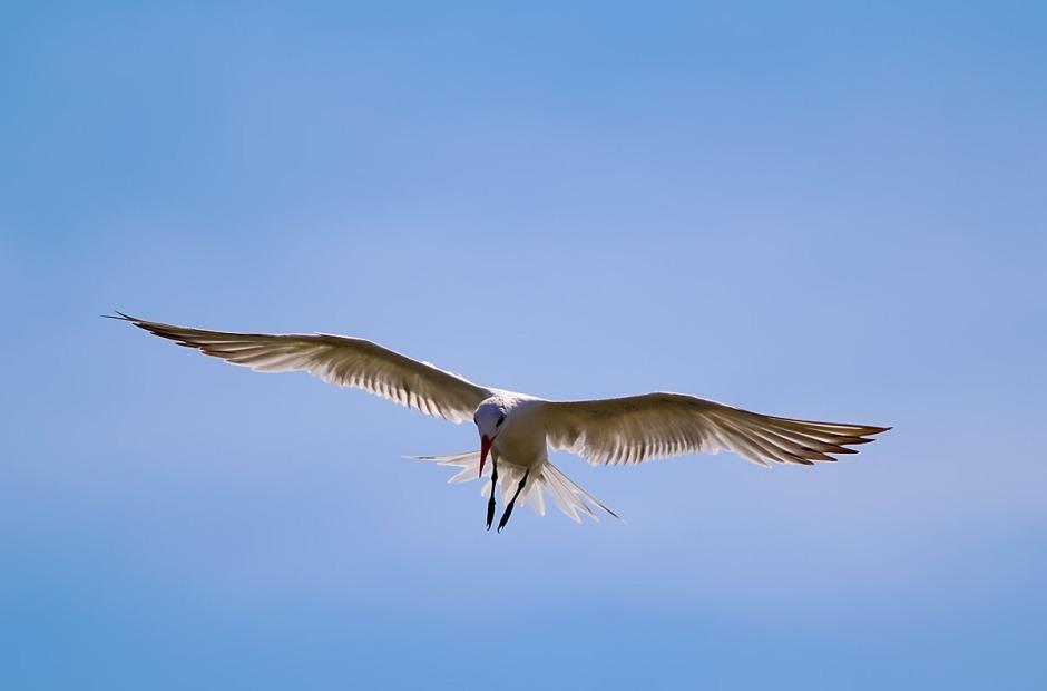Bonus: Royal Tern, ready to strike