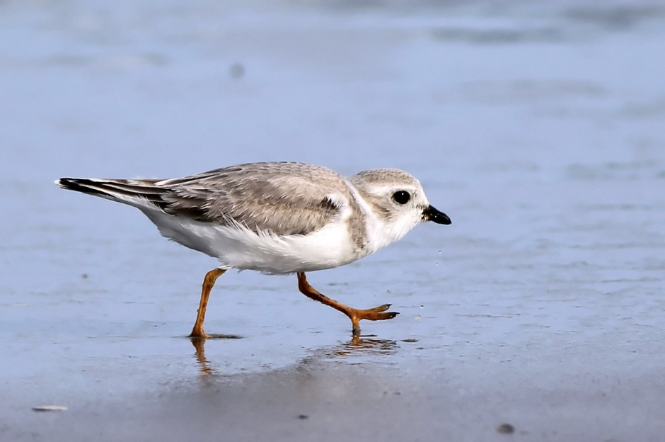 Doing The Plover Creep