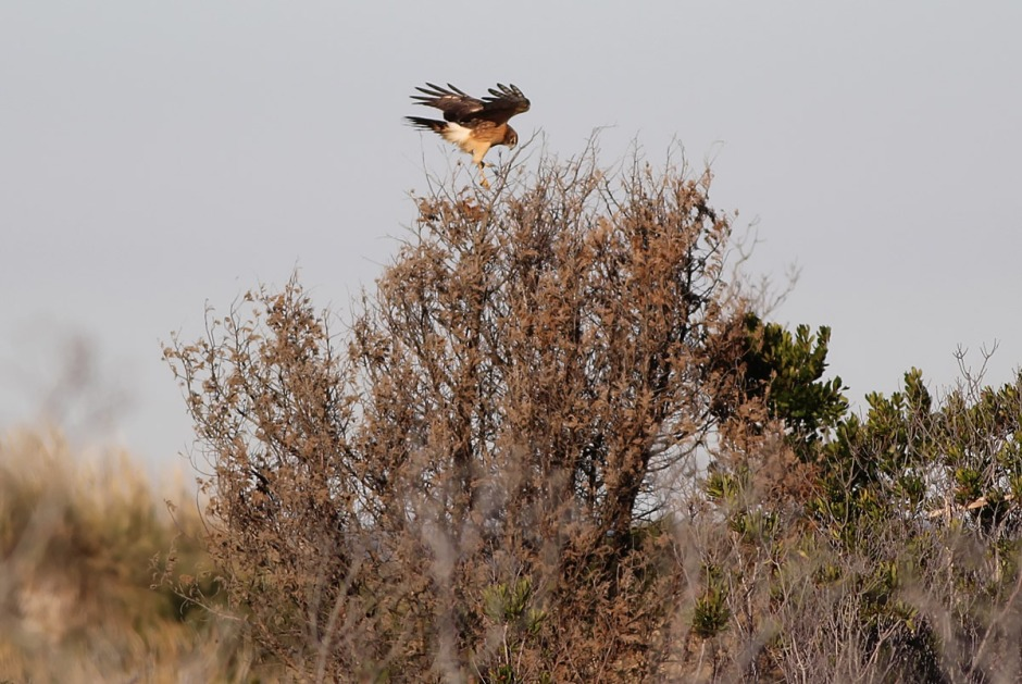 "Skittles The Northern Harrier has been terrorizing the Island lately. But don't worry, he only eats ""regular"" birds."