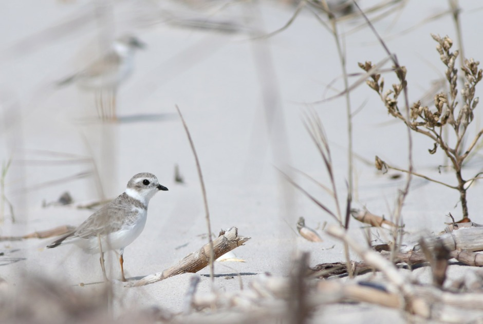 But with great beauty always comes lots of drama. Piping Plover have the nasty habit of dying constantly.