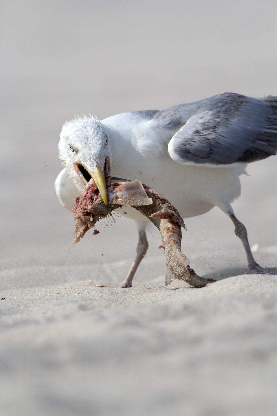 But as other gulls started to circle, Big Poppa had to take the lunch BACK and re-consume it
