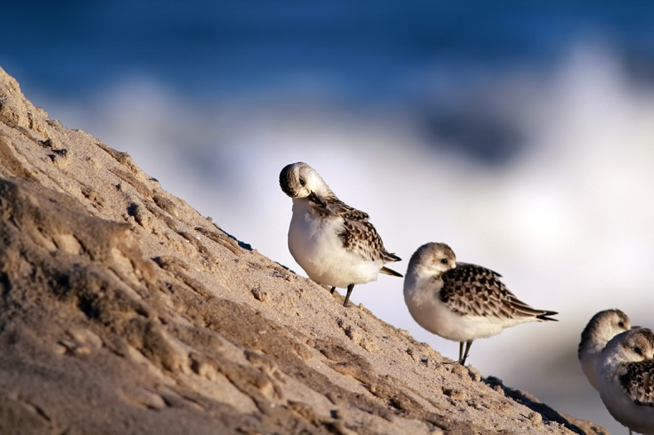 """So apparently, the answer to the question """"Daddy, will the Sanderlings ever climb on Buk Buk Mountain"""" is """"YES""""."""
