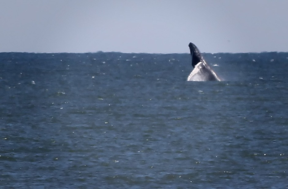 Then, if you're not sure, wait for the breach of a lunge feed. Yep, that's a Humpback. She is currently heading North towards Harvey Cedars.
