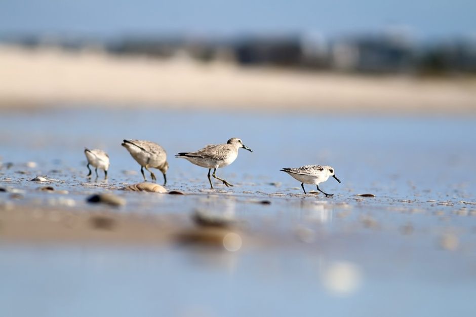 Why God Created Sanderlings: Red Knot Edition