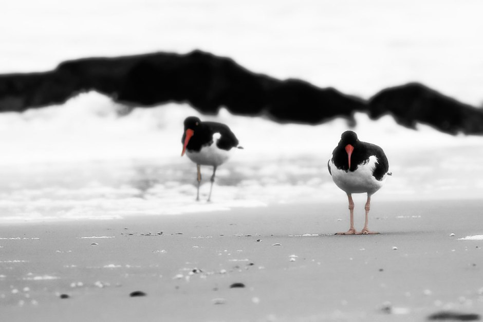 Befriending the Oystercatcher