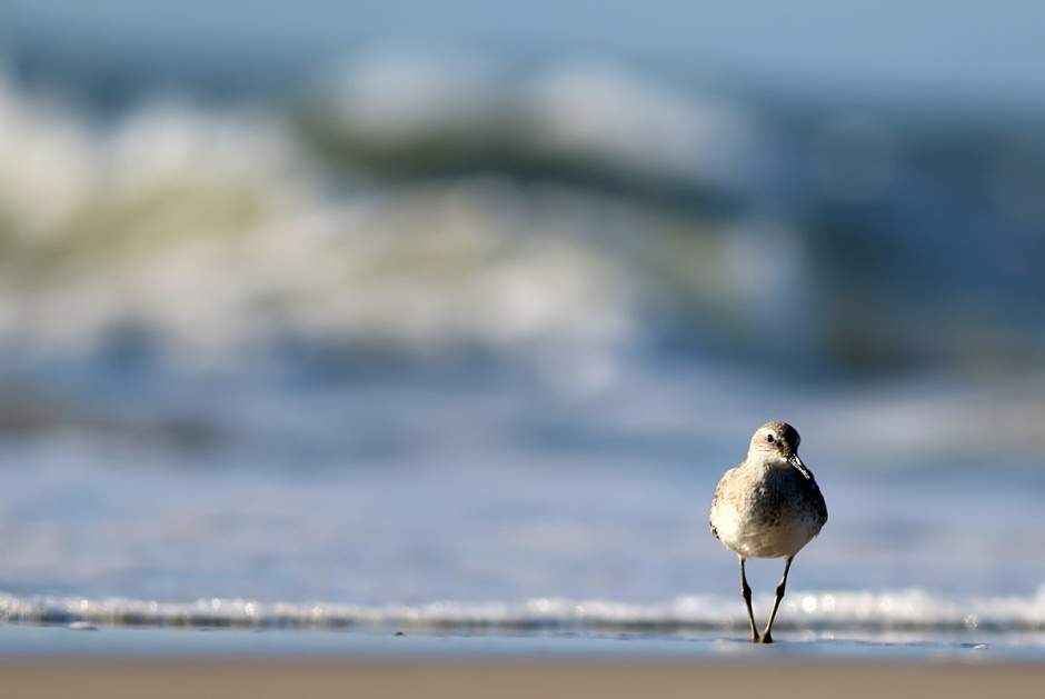 Oh so pretty: Red Knot