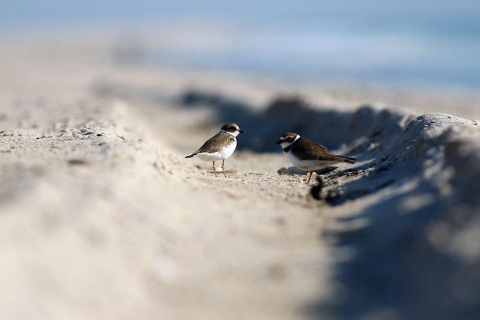 Why Semipalmated Plover die all the time
