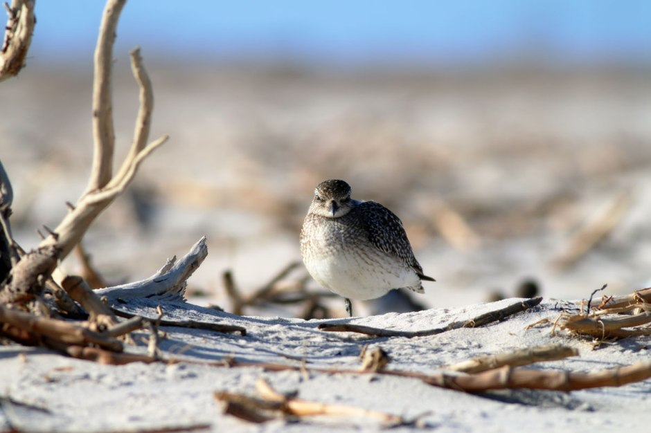 Black Bellied Plover: Serious Migration Lollygagger