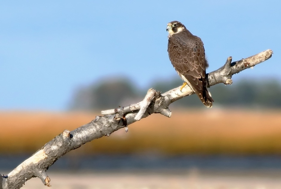 Peregrine Falcon: The Bird I Came To See