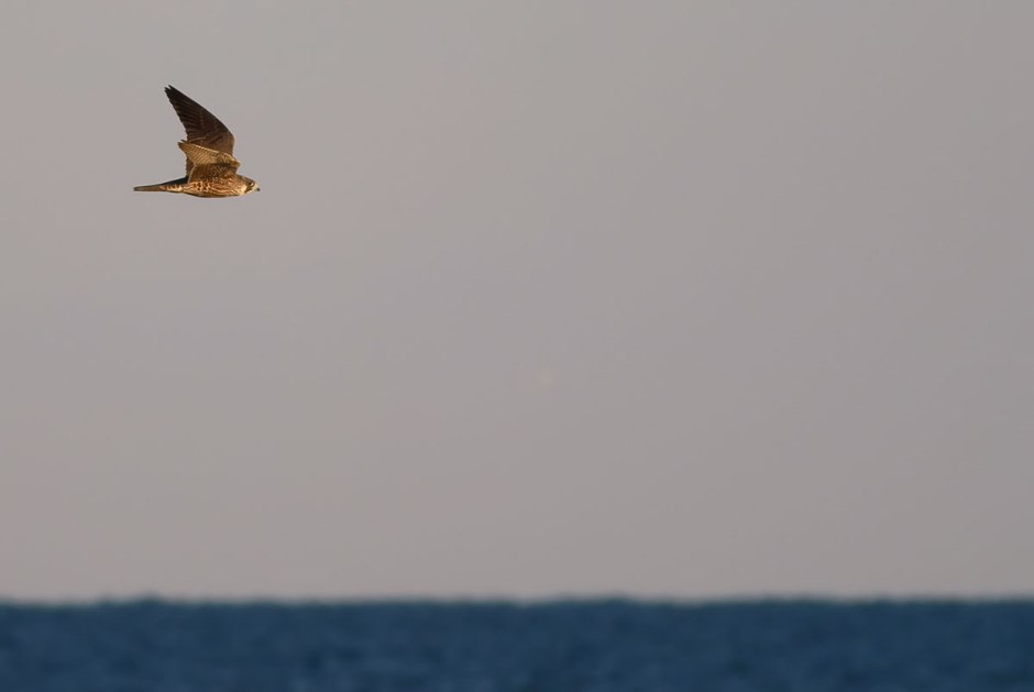 Peregrine At Sea. Hey, wait a minute, you're not supposed to eat any shore birds. Eat regular birds, please.