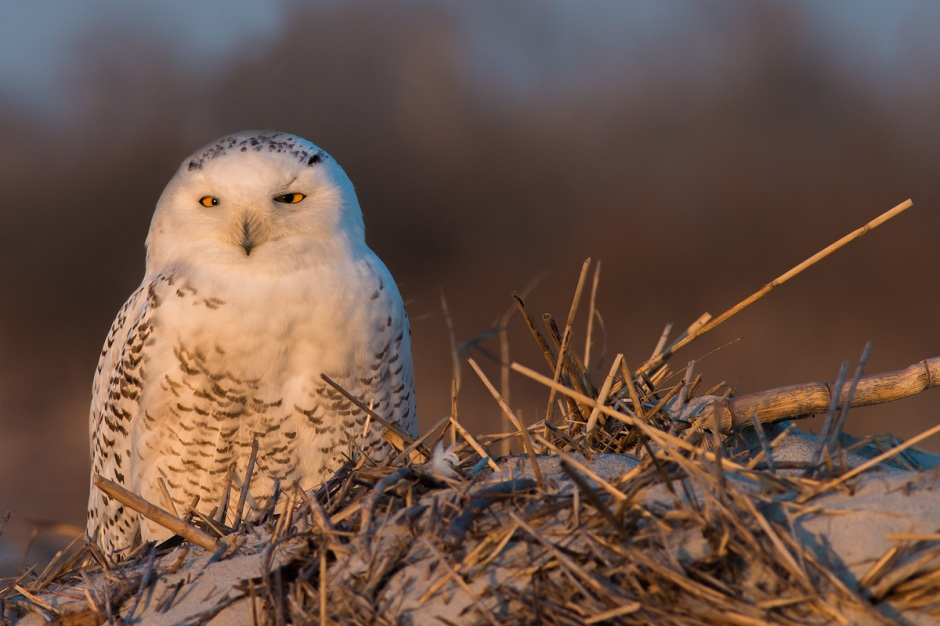 Because the Snowy White Owl is circumpolar, circumpolar, ranging across the northern regions of Greenland, Scandinavia, Russia, Alaskia and Canada