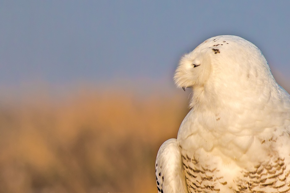 LBI's explosion of Snowy Owls can only be called one thing...