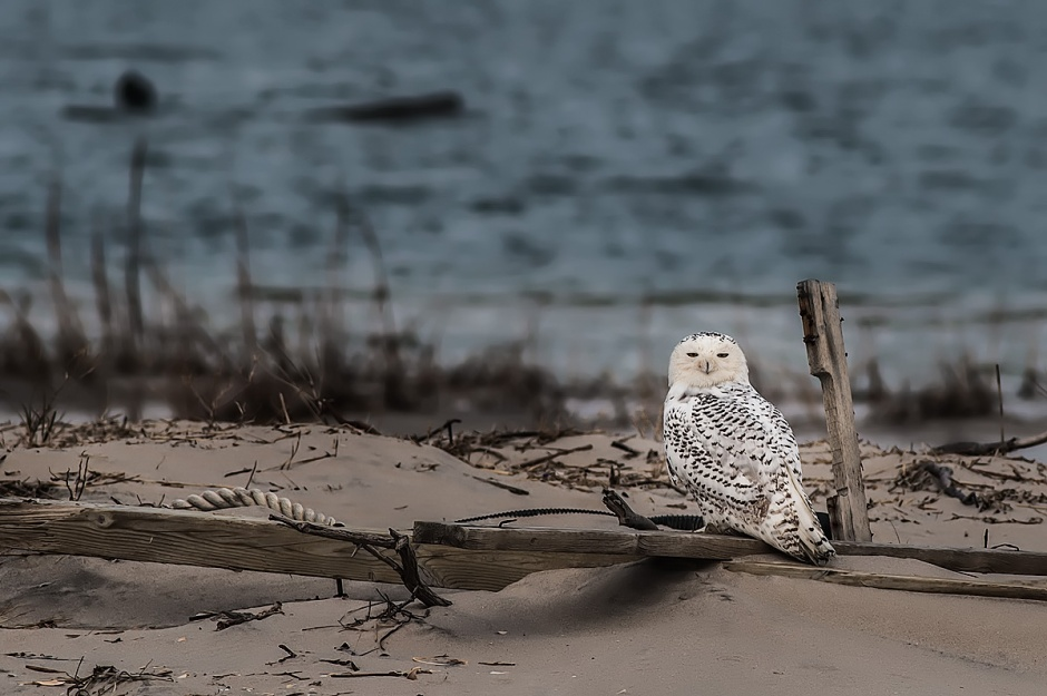 ... it has a slew of names: Arctic owls, great white owls, white owls, harfangs, American snowy owls, snow owls, ghost owls, tundra ghosts, ookpiks, ermine owls, Scandinavian nightbirds and highland tundra owls, just to name a few.