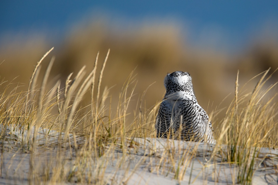 """I meant """"SNOWIE"""" Covered Dunes."""