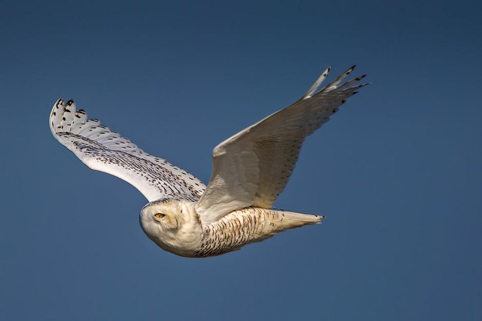 SWIFLB: Snowy White In Flight Lookin' Back
