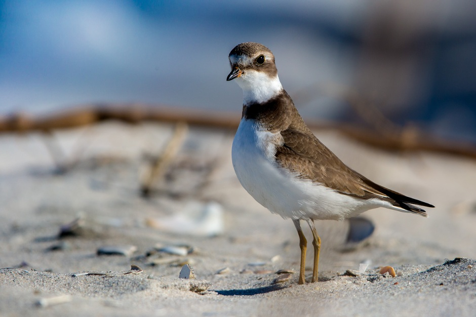 Semipalmated Plover on High Alert for Santa: The Ultimate Predator