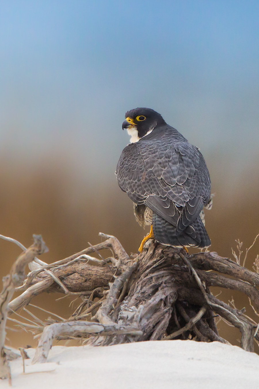 Only Peregrine Falcon thinks she has a chance of taking Santa down this year.
