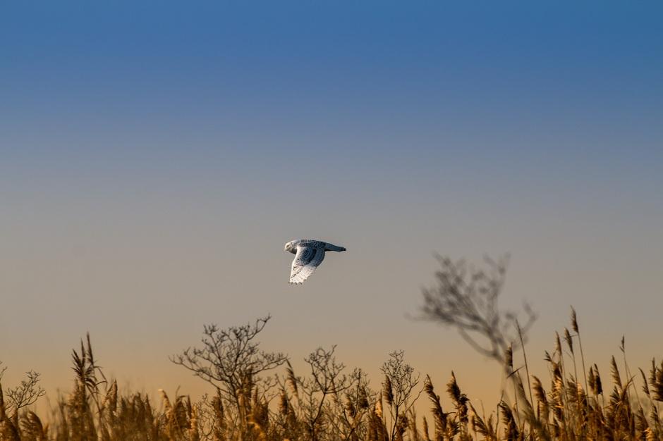 One of many Snowy Owls hunts Long Beach Island