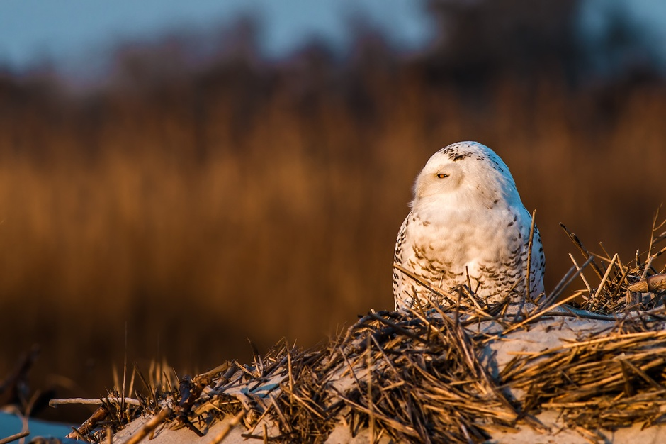 While it's an amazing treat to see just one of these Arctic Birds on LBI., the astonishing reality is that we got to hang with 6 Snowy Owls yesterday.