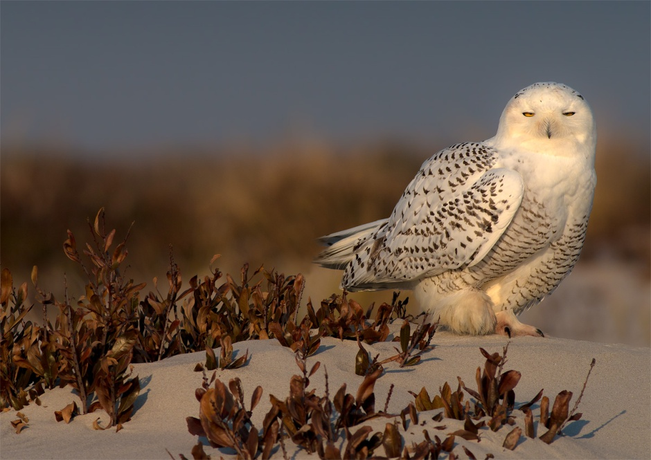 At some point I must stop posting pics of the Snowy White Owls on Long Beach Island...