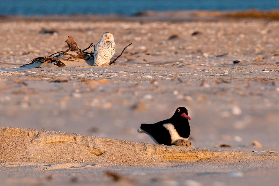 OH NOES!!!!111! Mr. Plush Oystercatcher, that is a terrible place to nest!