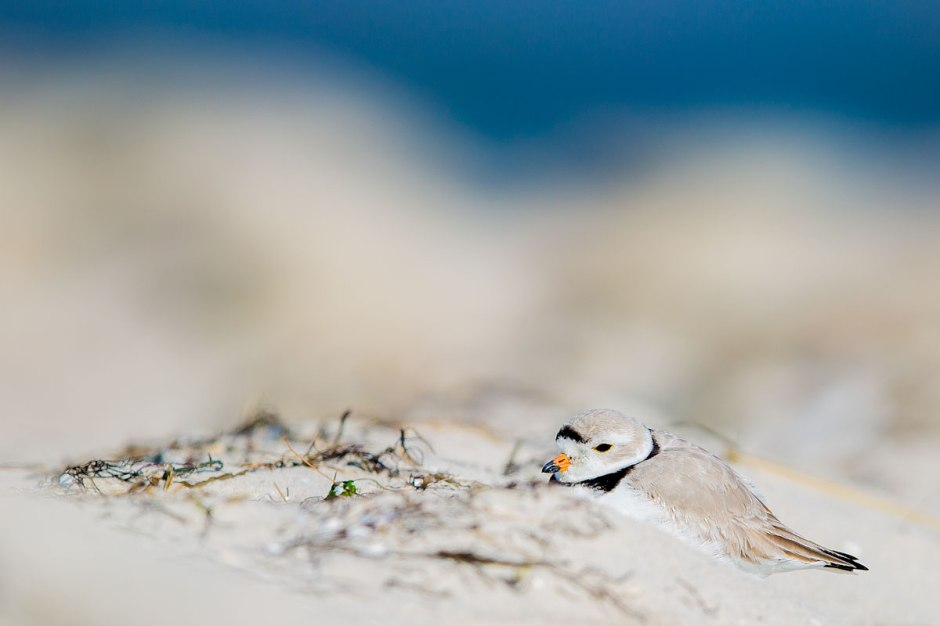 Only here on the fine line between Winter & Spring will we see Snowy Owls & Piping Plover on the same beach.