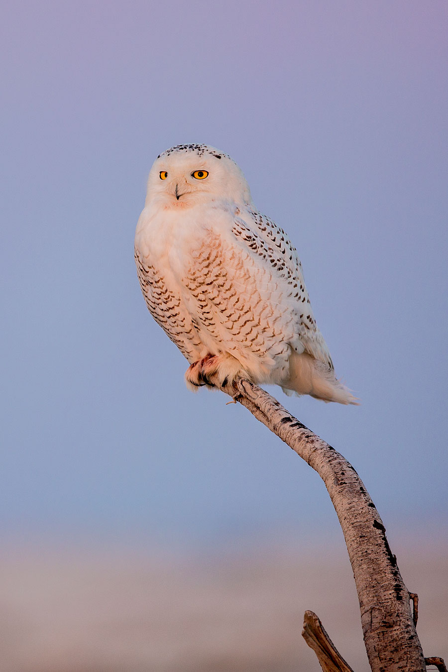 That title made it sound like it was not a bad pun for more, gratuitous Snowy Owl photos