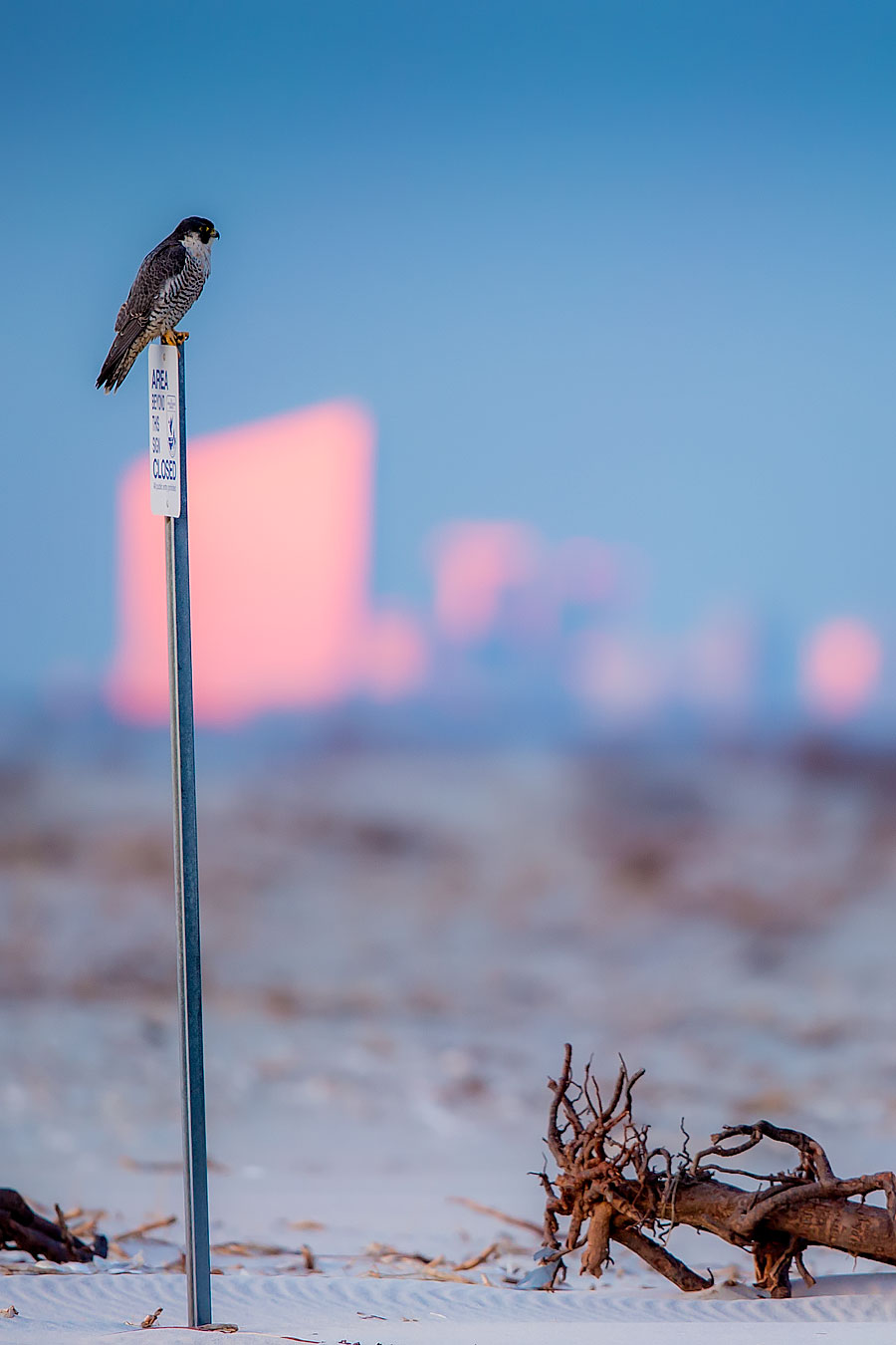 Peregrine hypnotized by the (natural) bright lights of Atlantic City.