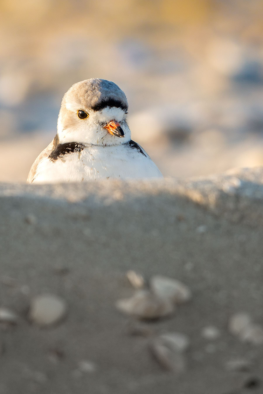Piping Plover hypnotized by his Super Happy Fun Fort (A.K.A., tire track)