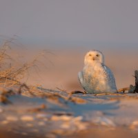 Sunsnow? Snowset? Meh. Snow Owls At Sunset. I Find My Own Puns Exhausting.