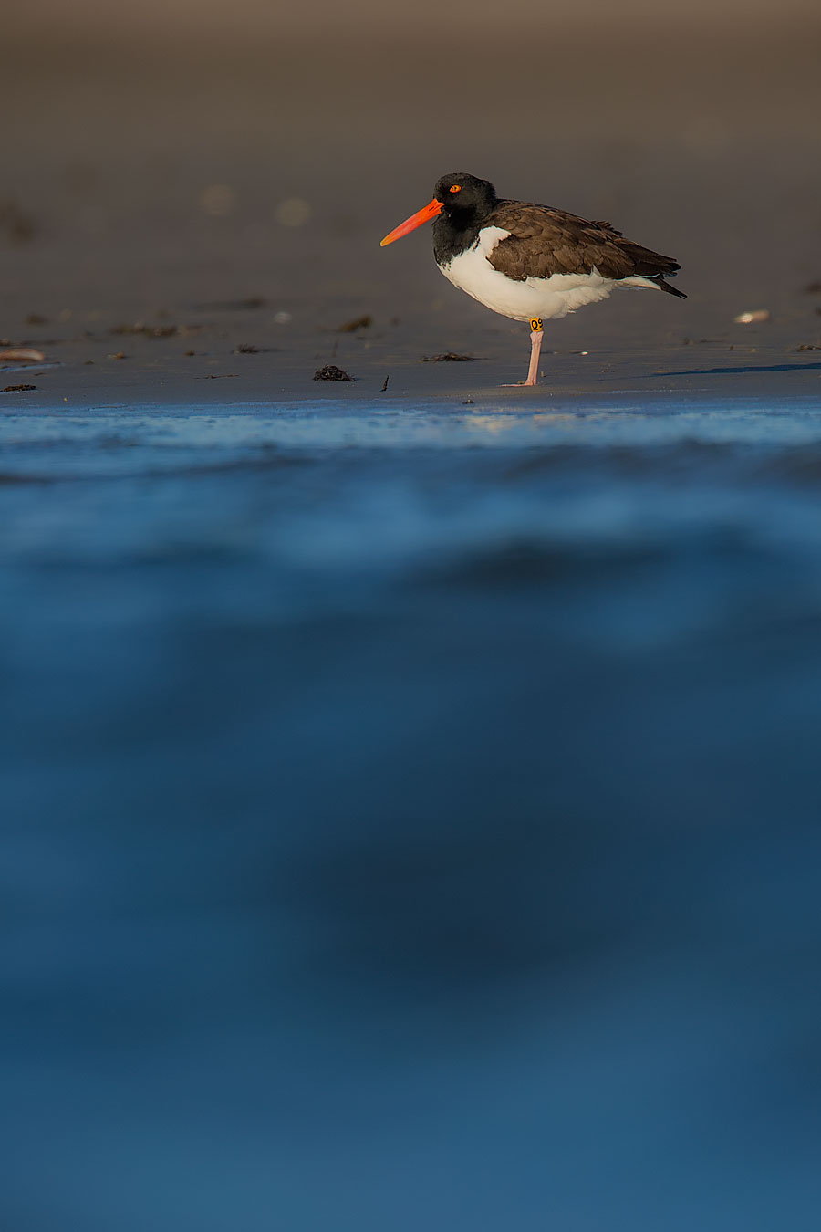 """O9"" is in the House.  O9 is like the Mac Daddy of Tucker's Island on LBI. Banded in 2010 by Allison the Beach Nesting Hero, he is the baddest Oystercatcher on the Southside."