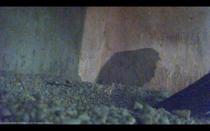 Peregrine Cam Nosferatu. The shadow of our mortality.