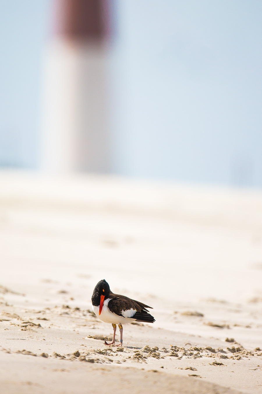 T2 is Barnegat Light's most famous Oystercatcher, and possibly LBI's most photographed bird. You can even Google him. He is that world famous.
