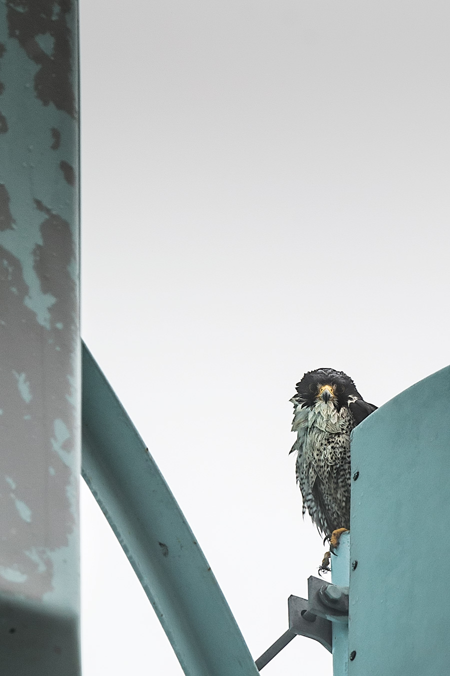 The Surf City Peregrine Falcon spent today like the rest of us: soaked.