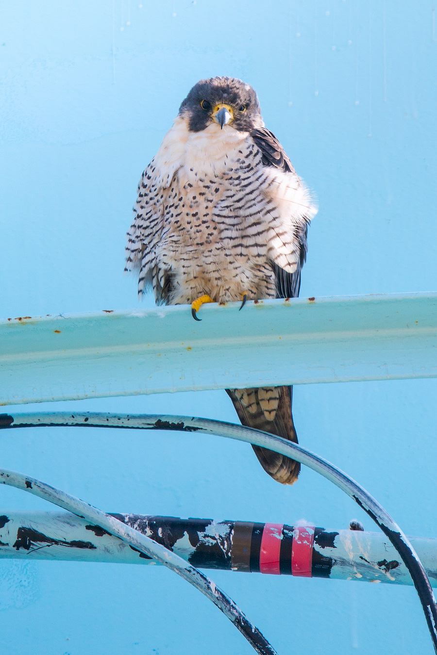 Image of Peregrine Falcon