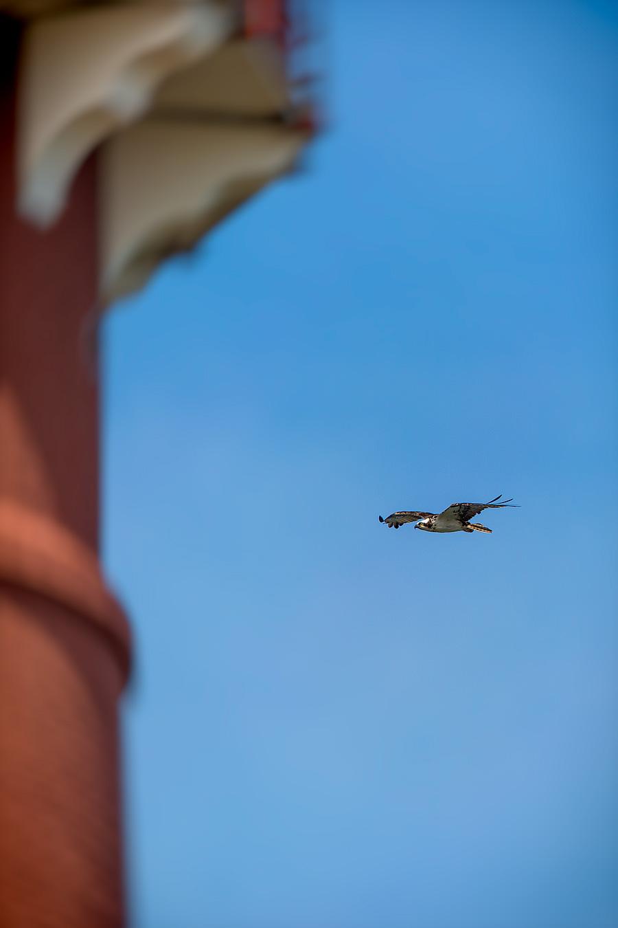 Bonus Barnegat Light Shot: Osprey, comin' in hot!