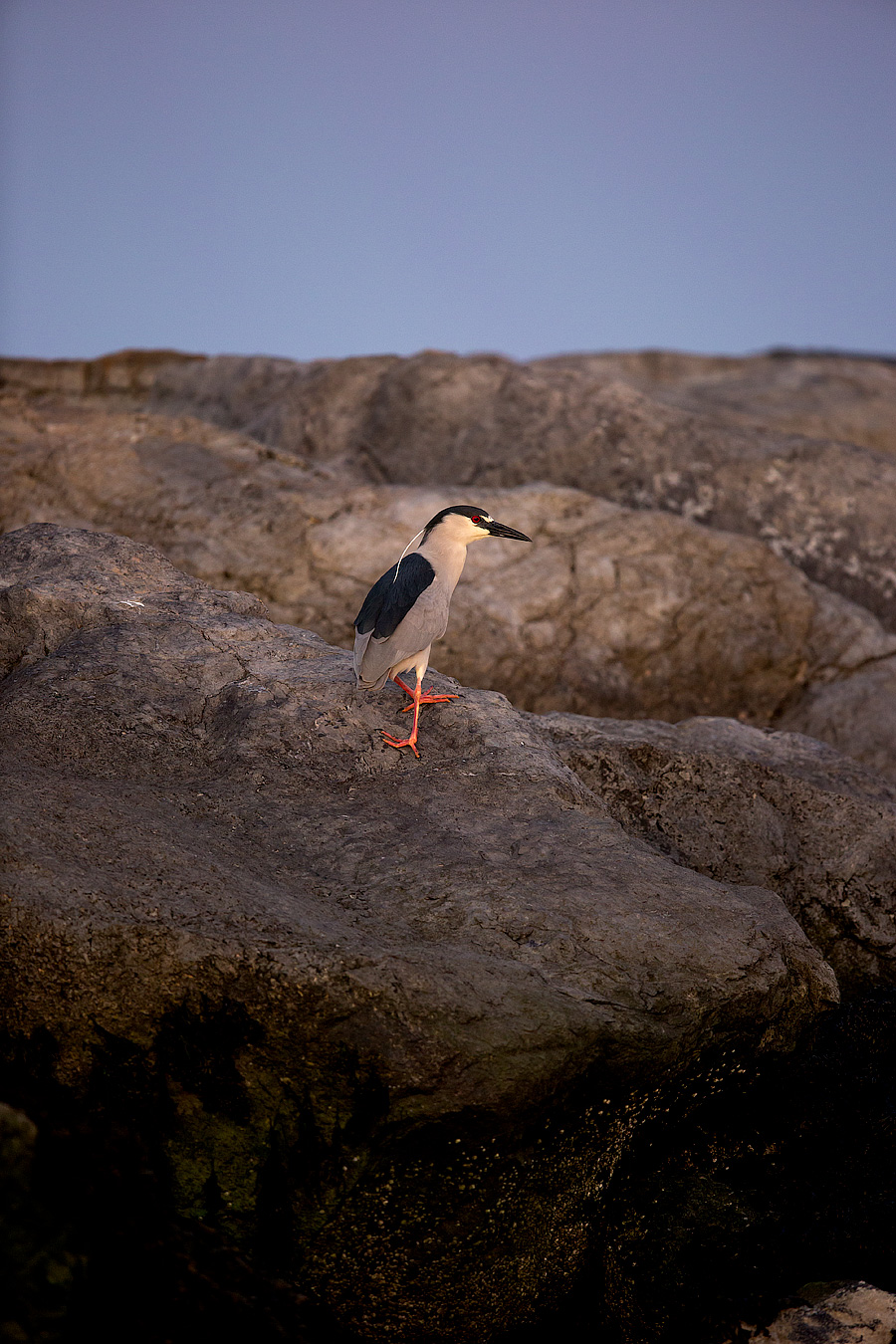 Image of Black Crowned Night Heron at Barnegat Light