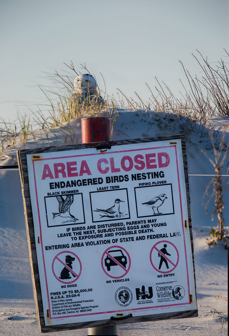True Story: Snowy Owl perches in one of LBI's few Piping Plover nesting grounds, April 16th 2014