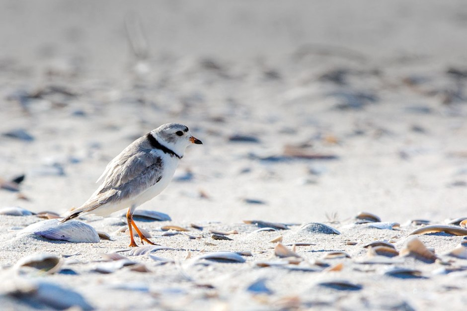 Piping Plover territorial display