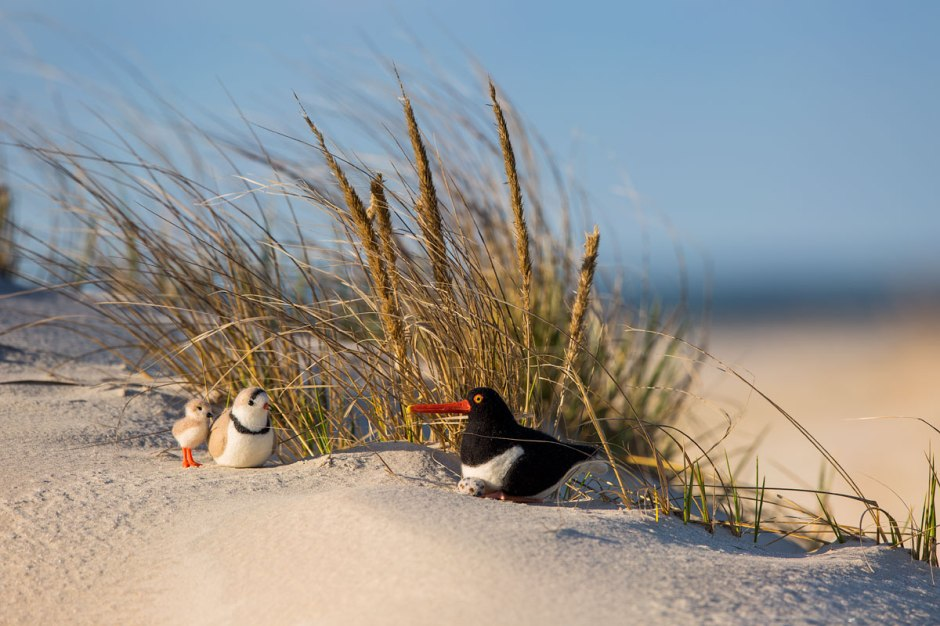 A Plush Piping Plover Papa & Chick meet Mr. Oystercatcher stuffed animal.