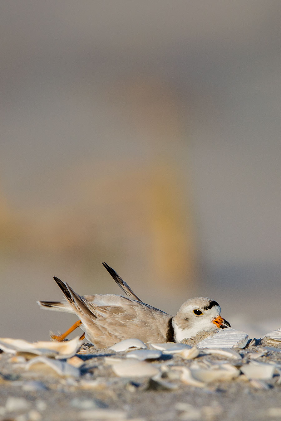 piping plover scraping