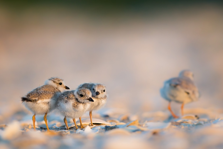 """Hold on there babies. We're going to need you lift your wings. We have reason to believe you might be smuggling Piping Plover feathers under there.""  (Family Photo. From left to right: Coppelia, Swanhilde, Tufters Jr., and Mother Tacey, walkin' away)"